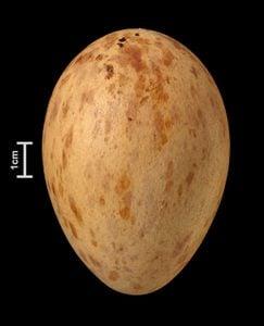 sandhill crane bird egg