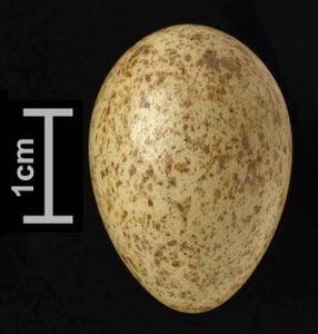 blue jay egg