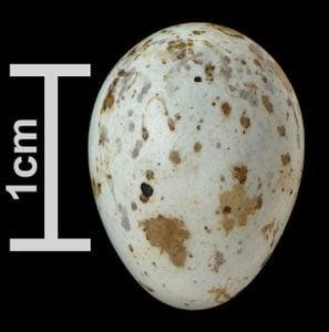 yellow warbler egg