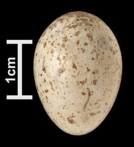 northern cardinal egg