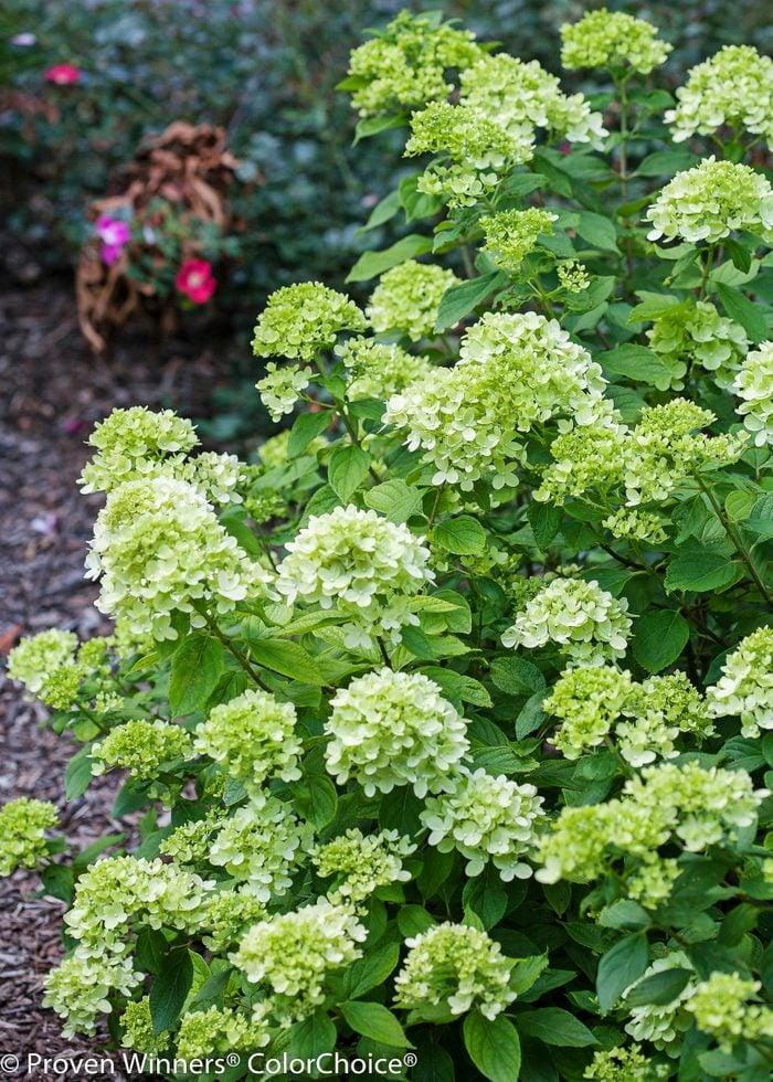Littlelimehydrangea Vert