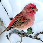 How to Attract and Identify Purple Finches