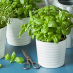 Create a Windowsill Herb Garden