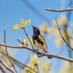 How to Identify American Redstarts