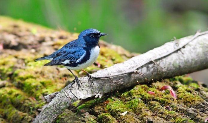 black throated blue warbler Deboraparker