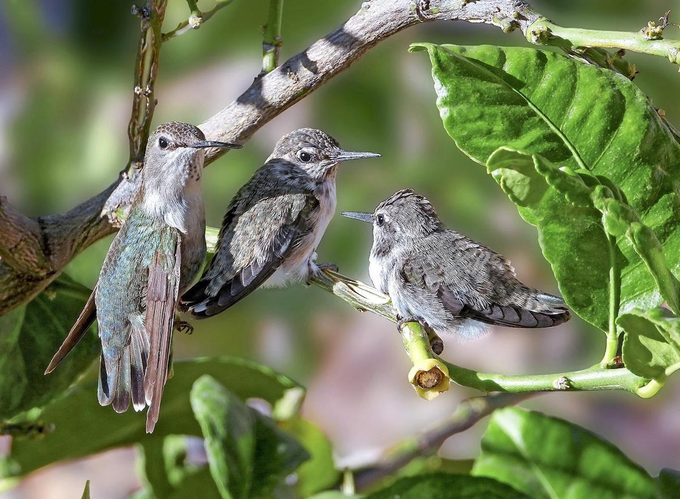A family of hummingbirds in a tree.