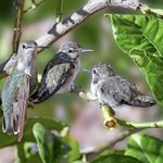Costa's Hummingbirds Helped Me Survive the Pandemic
