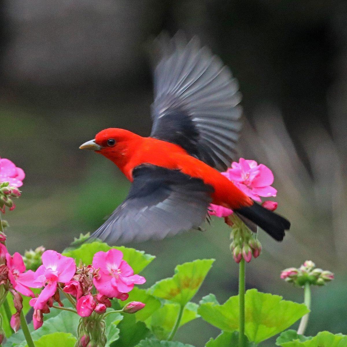 scarlet tanager spring birds Rodger Boehm Bnb Bypc 2020