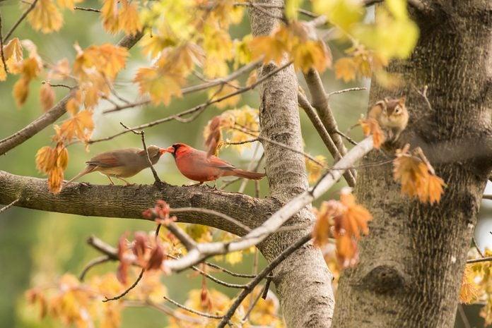 northern cardinals spring birds Cindy Thompson Bnb Bypc 2020