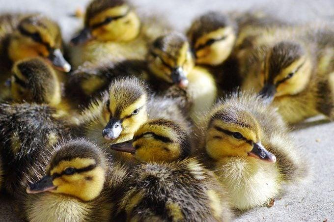 mallard ducklings Elizabeth Kiester Bnb Bypc 2020