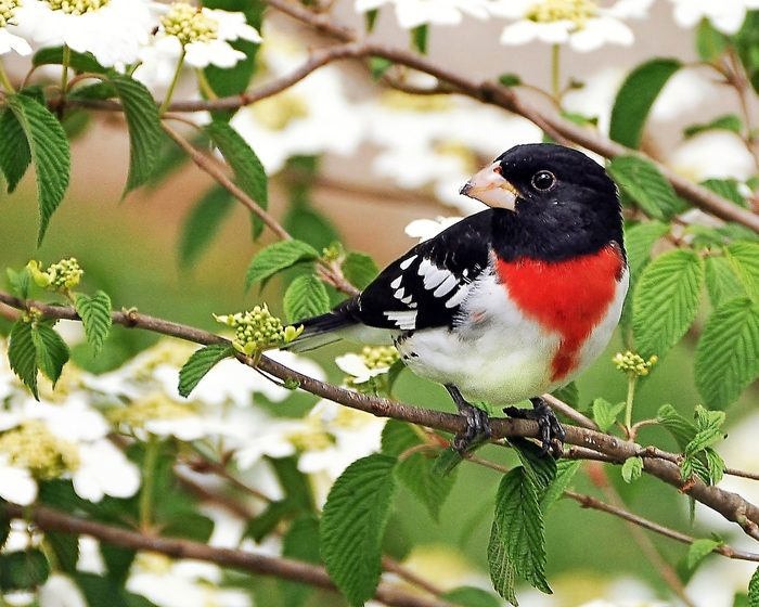 rose breasted grosbeak Jean Owens Bnb Bypc 2020