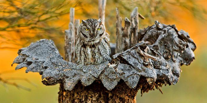 A screech owl nesting in a dead saguaro cactus