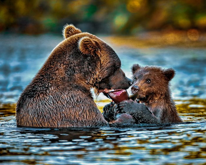 A mama bear and her cub in the middle of a stream eating a salmon.