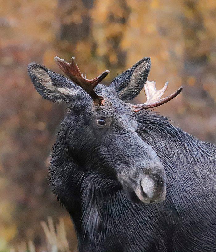 A closeup photo of a moose.