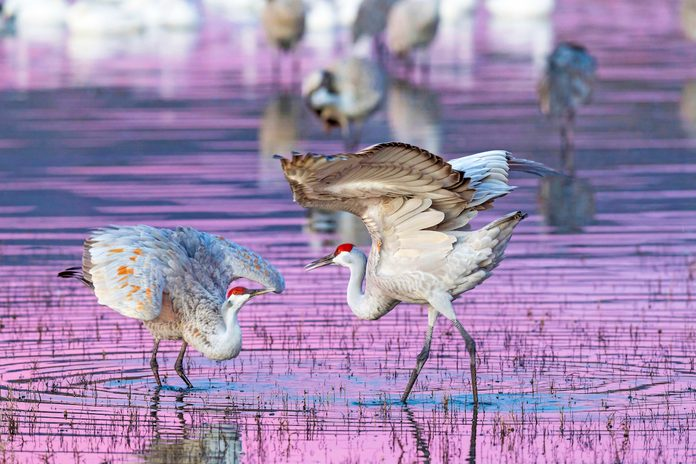 Sandhill Cranes Mating Dance At Sunset, Bosque Del Apache National Wildlife Refuge, New Mexico, Usa, December.