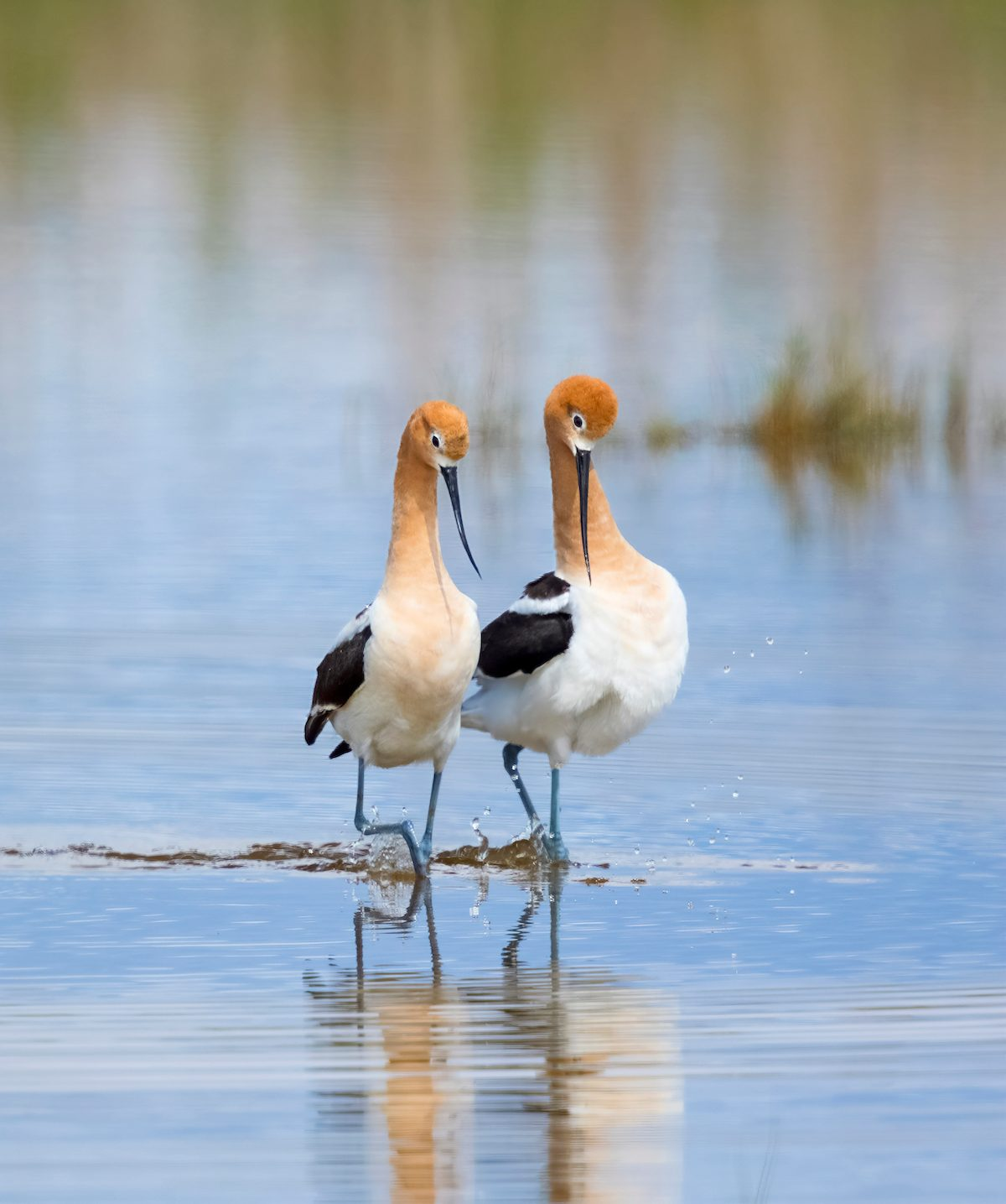 how birds attract mates, American avocets pair during their post-mating strut, Bear River Migratory Bird Refuge, Utah, USA
