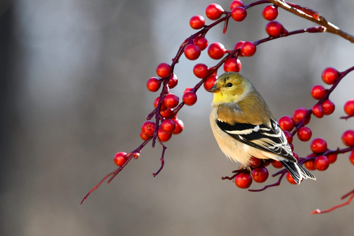 American Goldfinch 2020gbbc 73154 Deborah Bifulco Nj Great Backyard Bird Count