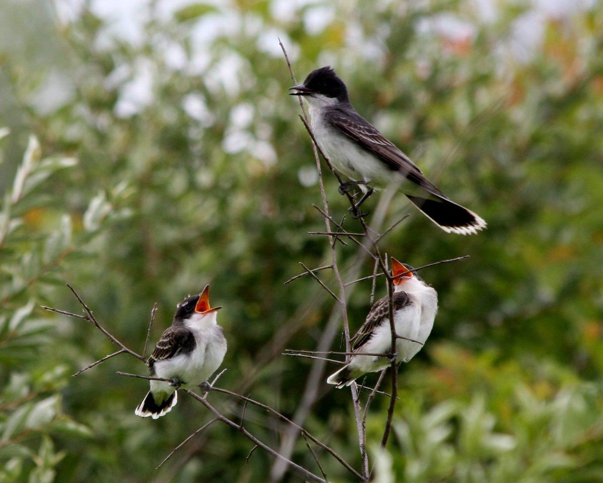 eastern kingbird Cynthia Lacava 001