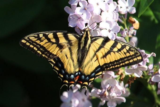 eastern tiger swallowtail on lilac bush