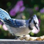 Bluebird vs Blue Jay: How to Tell the Difference