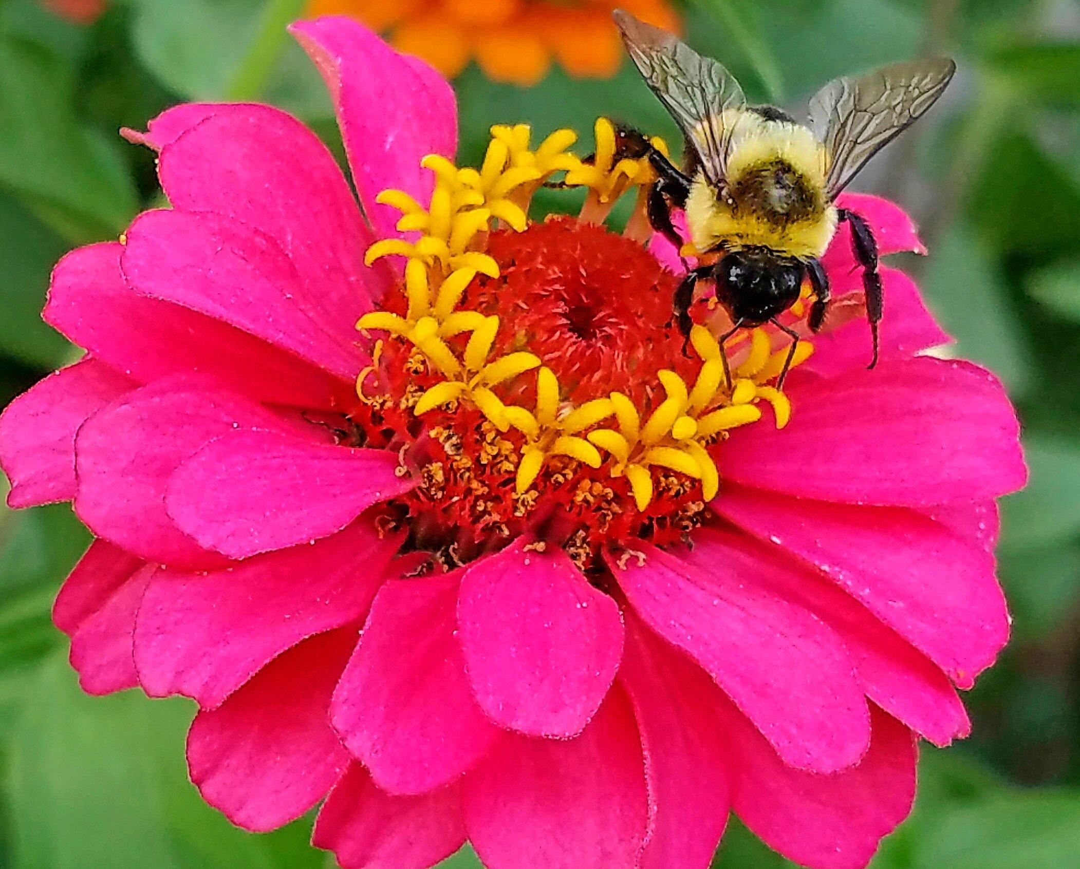pollen allergy, zinnia