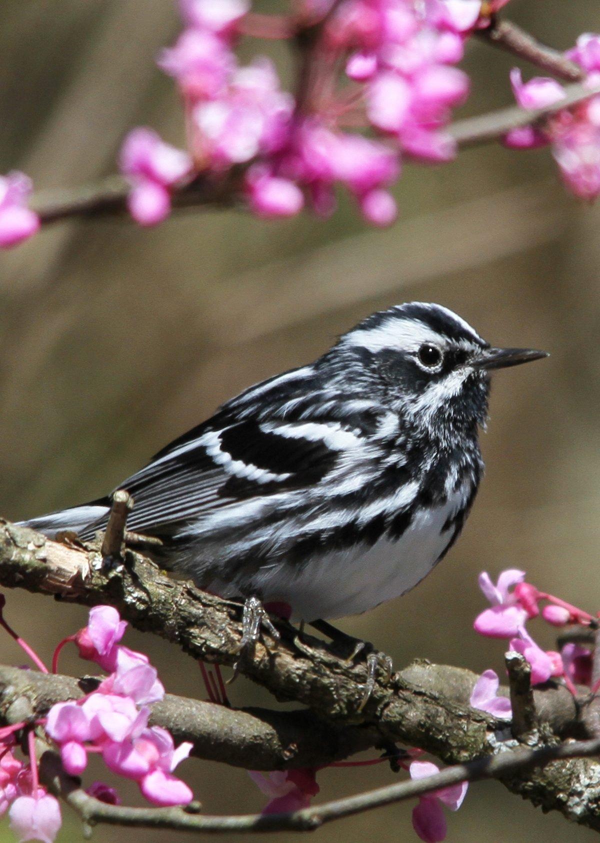 black and white warbler Tessa Nickels 001