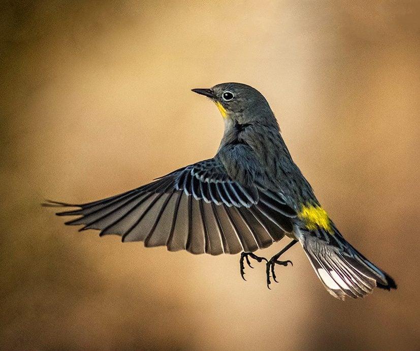yellow rumped warbler Dale Christner