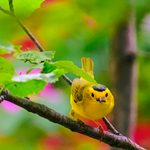 Wilson's Warbler: The Warbler That Wears a Hat