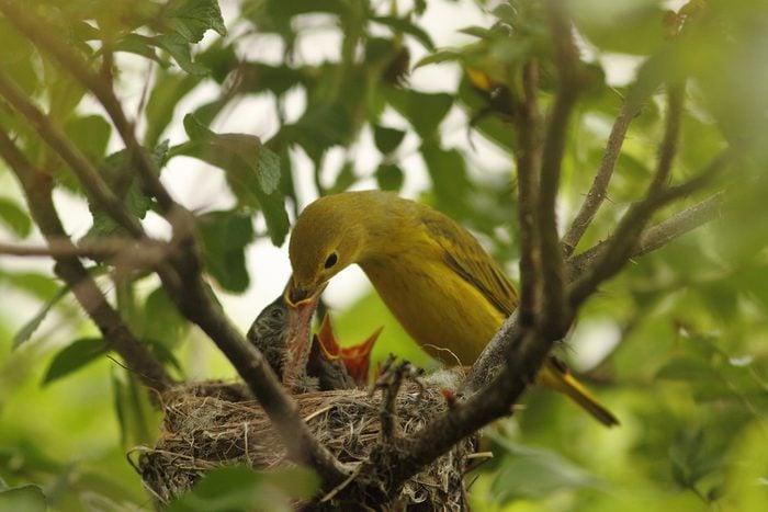 yellow warbler nest