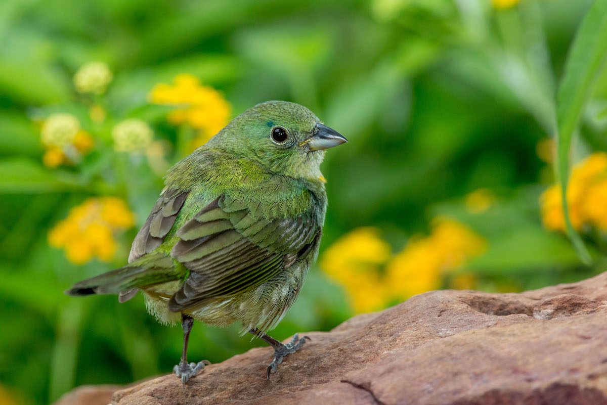 painted bunting Michelle Summers 4