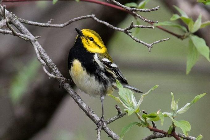 black throated green warbler Laura Pettigrew 17