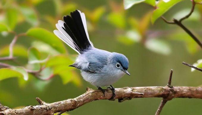 blue gray gnatcatcher Debbie Parker