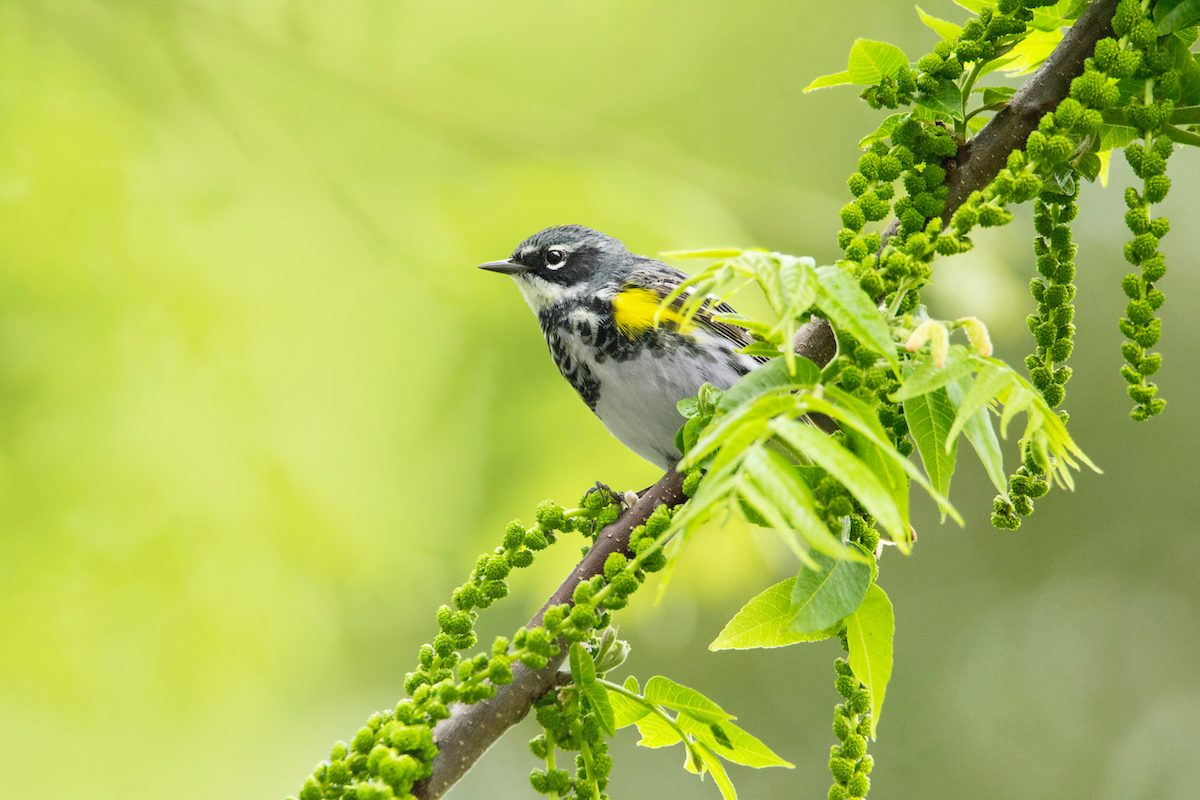 yellow rumped warbler Phylicia Clemens 10
