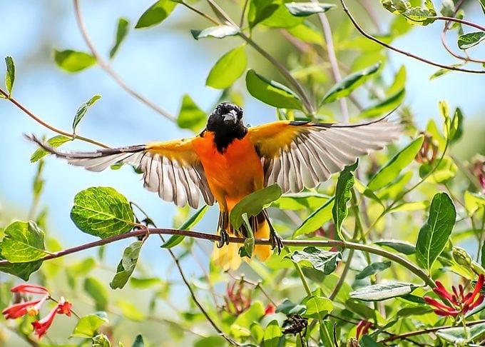 oriole bird pictures Bnbugc Robin Seeber