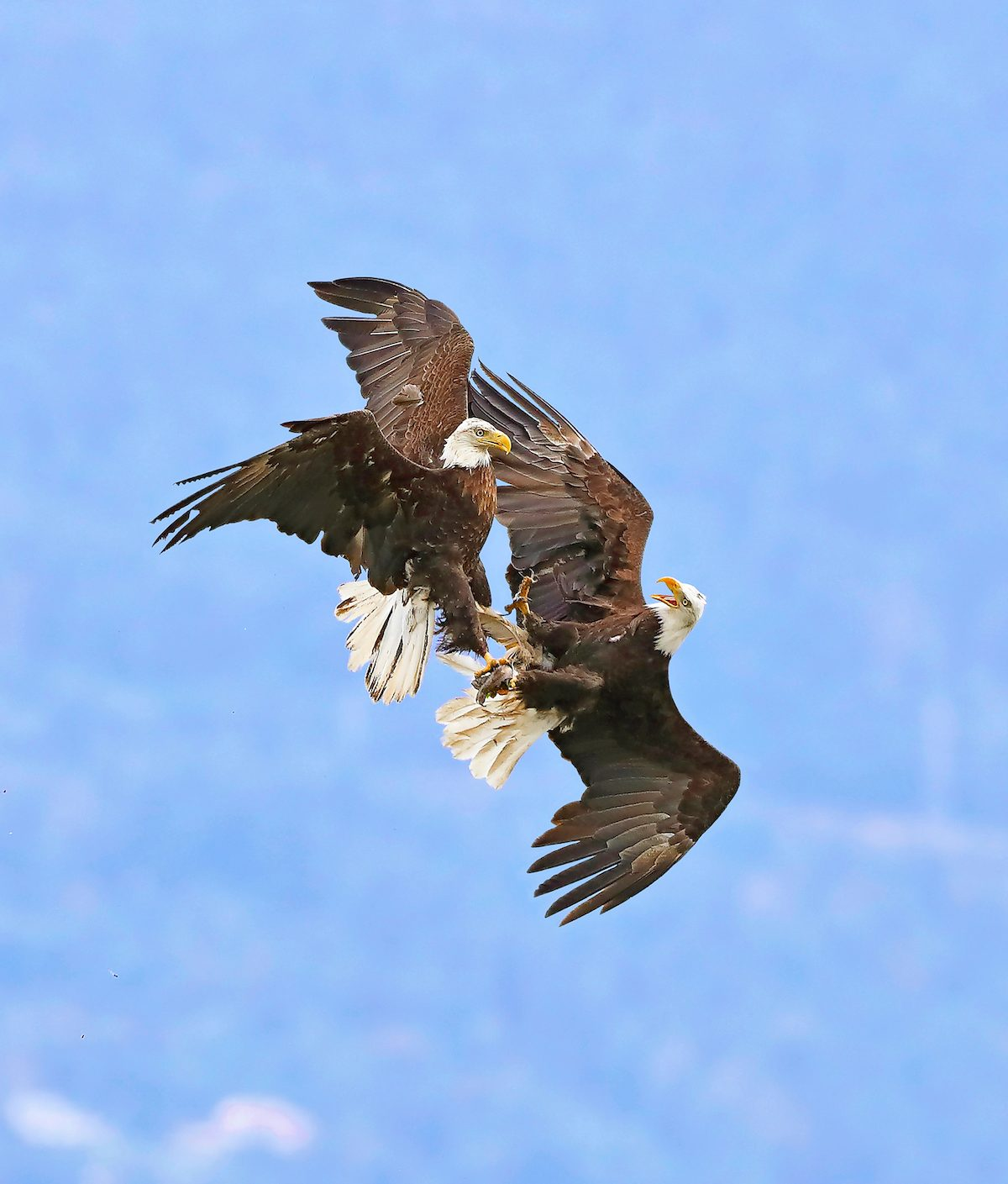 Two bald eagles locking talons in mating ritual.