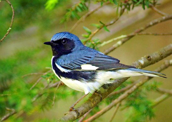black throated blue warbler Bell 061813