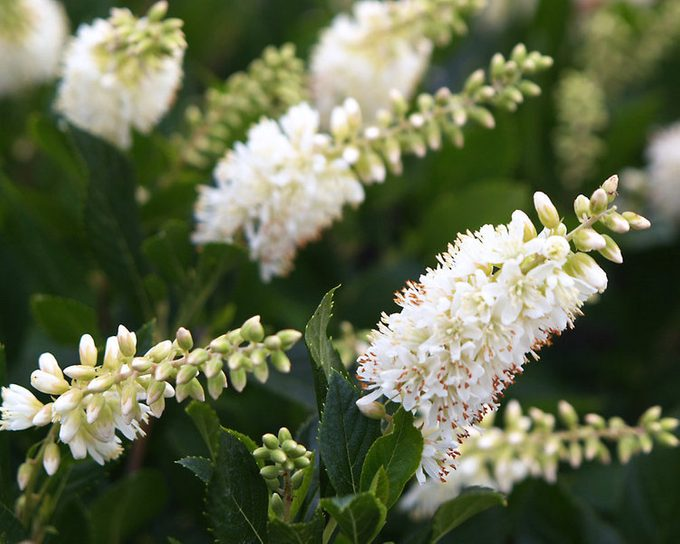 Clethra Sugartina Crystalina1 Pw