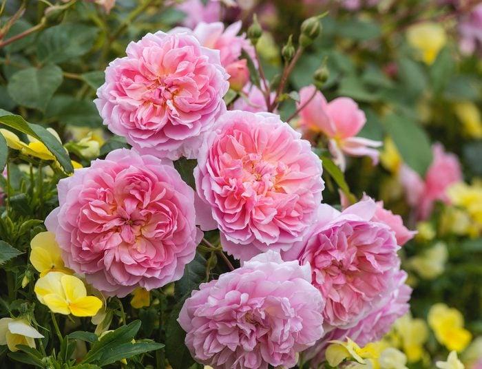 Anne Boleyn David Austin English Rose