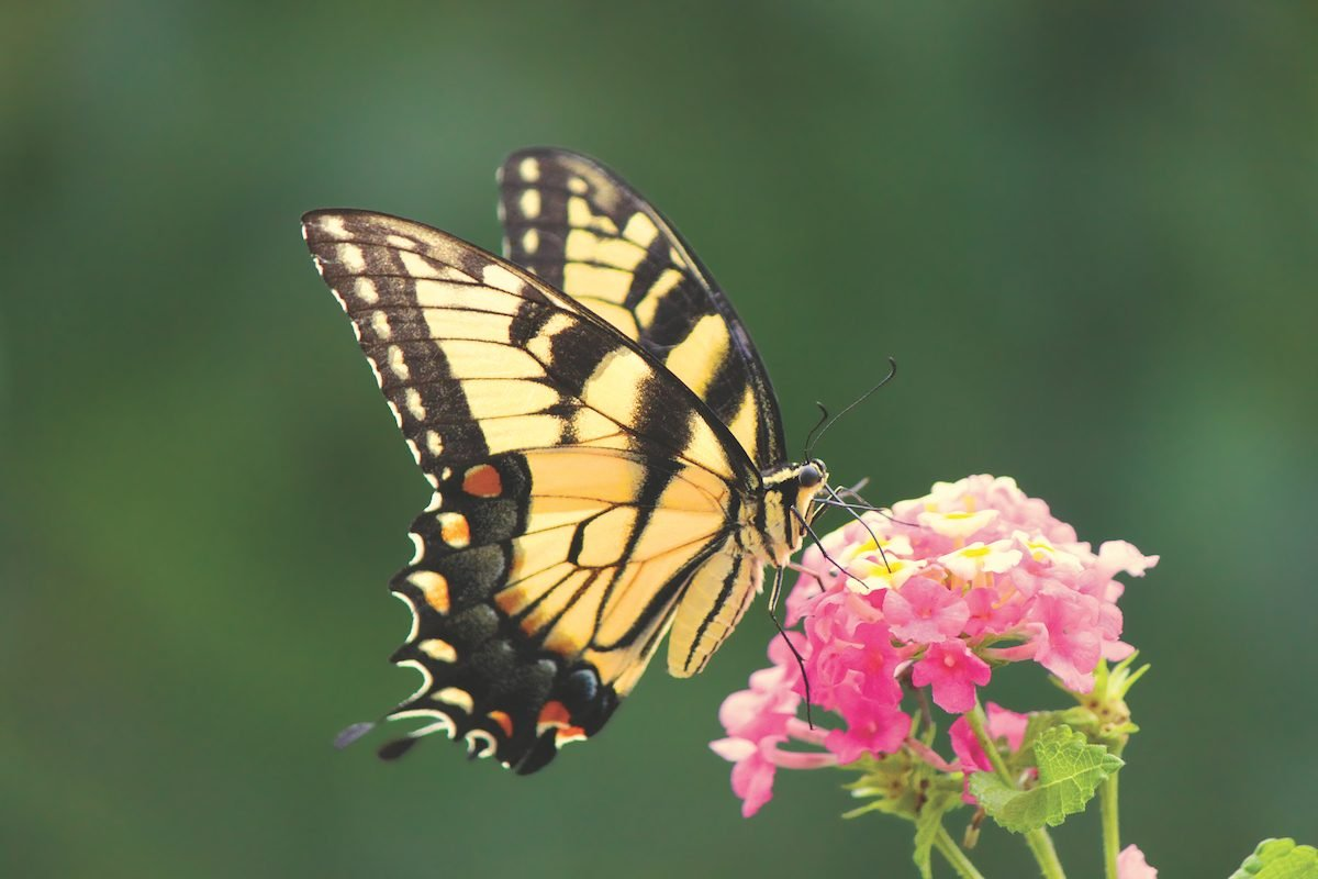 An eastern tiger swallowtail butterfly visiting a yellow and pink lantana flower.