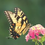 All About Eastern Tiger Swallowtail Butterflies and Caterpillars