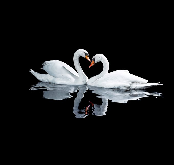 Two White Swans In A Heart Shape Symbol