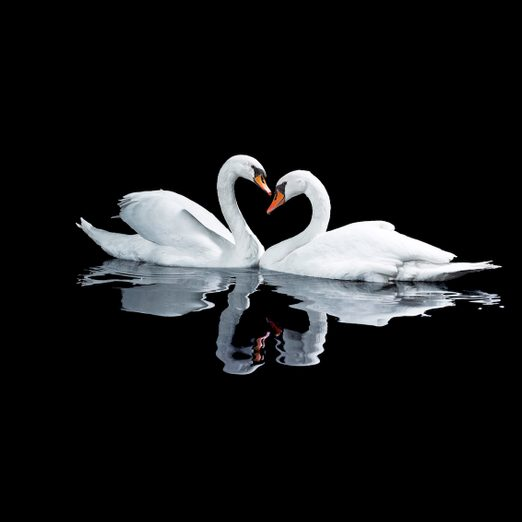 swan facts, Two White Swans In A Heart Shape