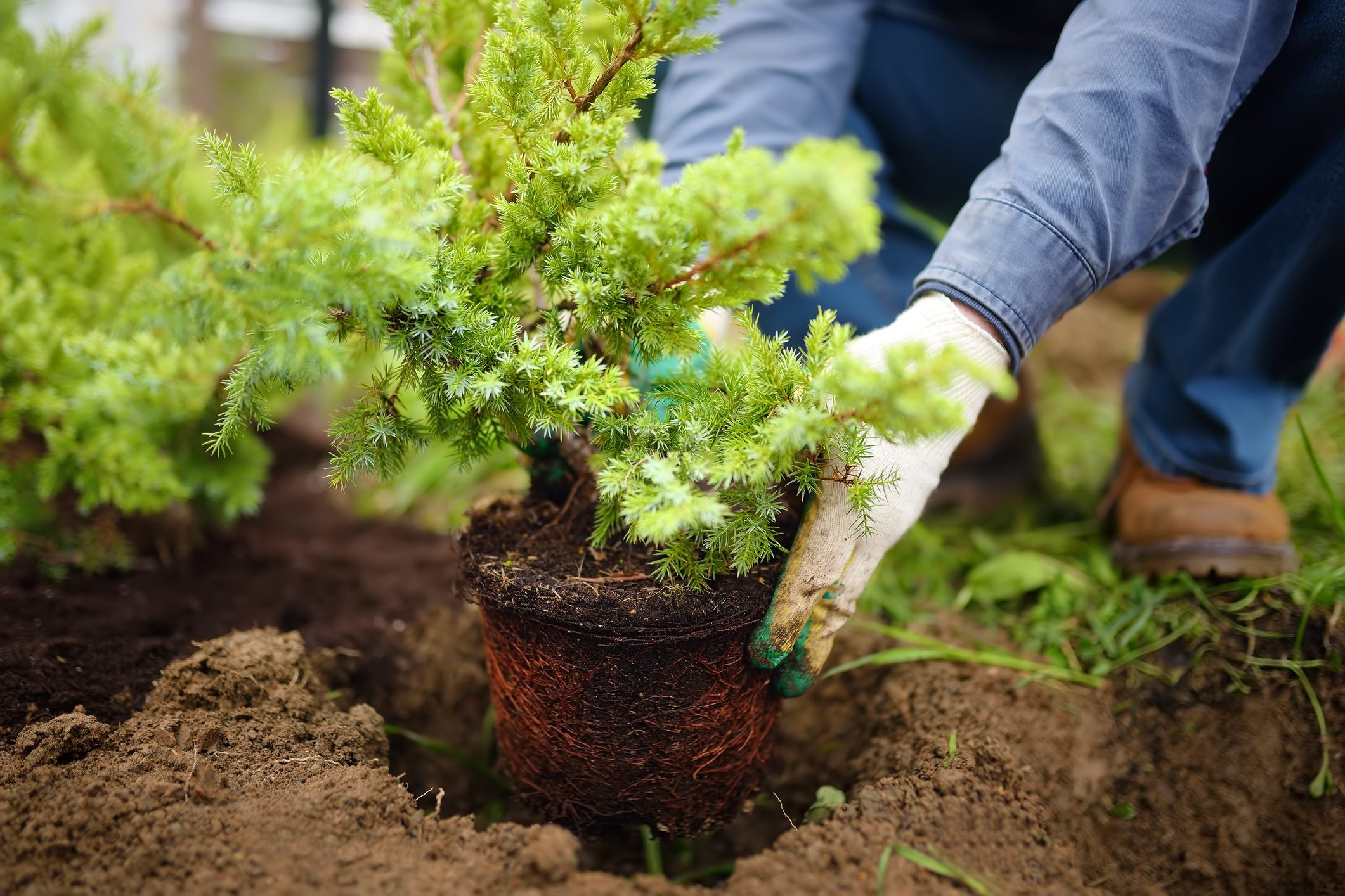 Man planting juniper plants in the yard. Seasonal works in the garden. Landscape design.