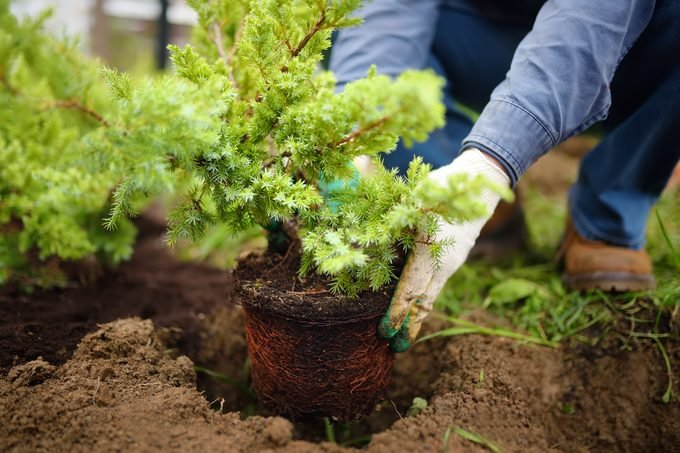 Man planting juniper plants in the yard. Seasonal works in the garden. Landscape design.