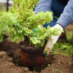 How to Plant Shrubs and Bushes