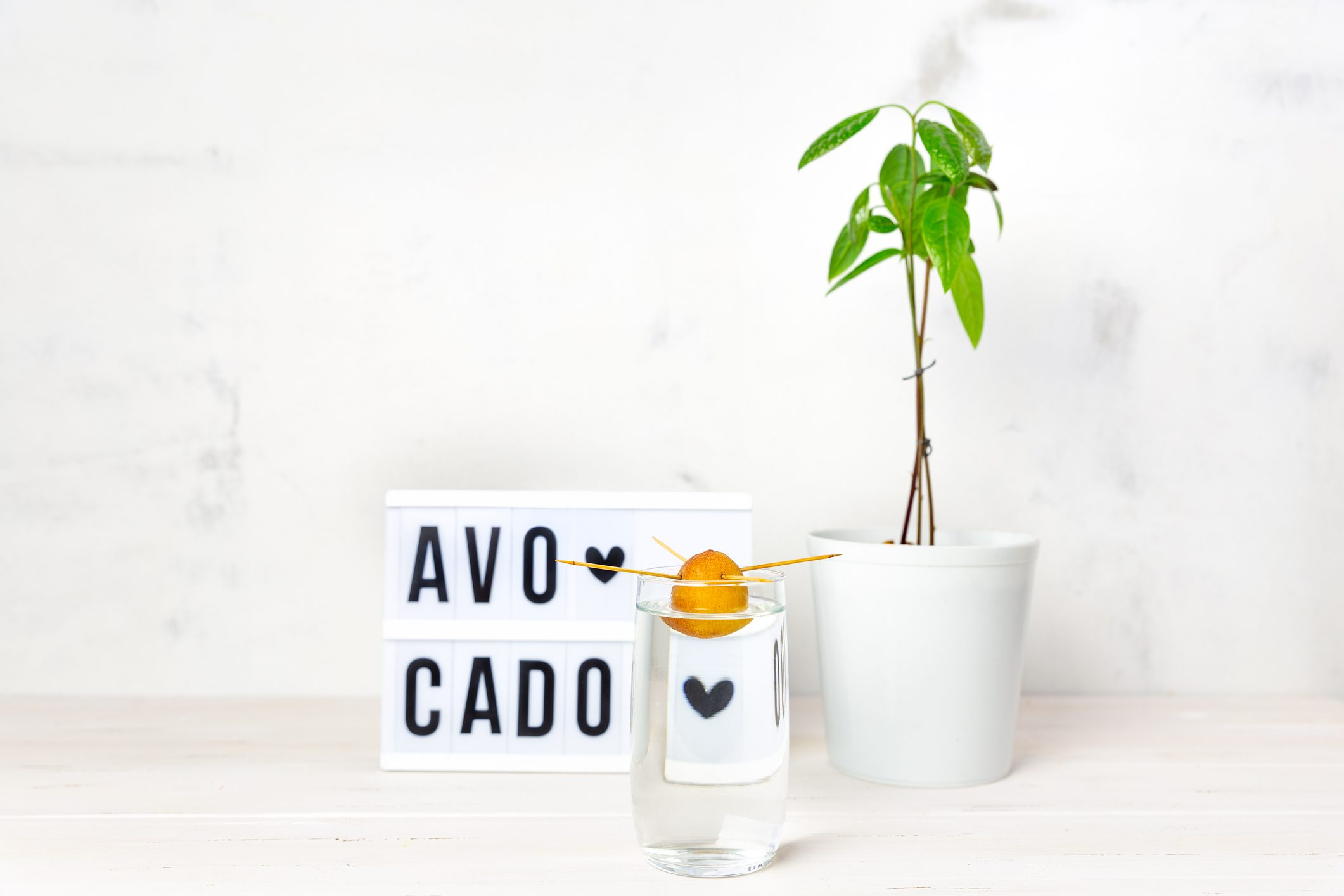 Indoor Avocado tree plant in a white pot, an avocado seed in a glass of water, light box with text on a white background.