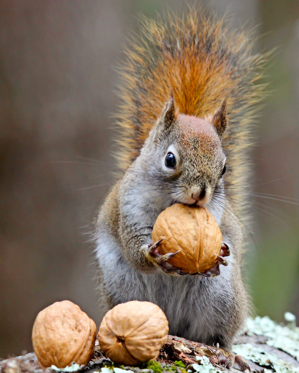 An American red squirrel holding a nut in its paws.