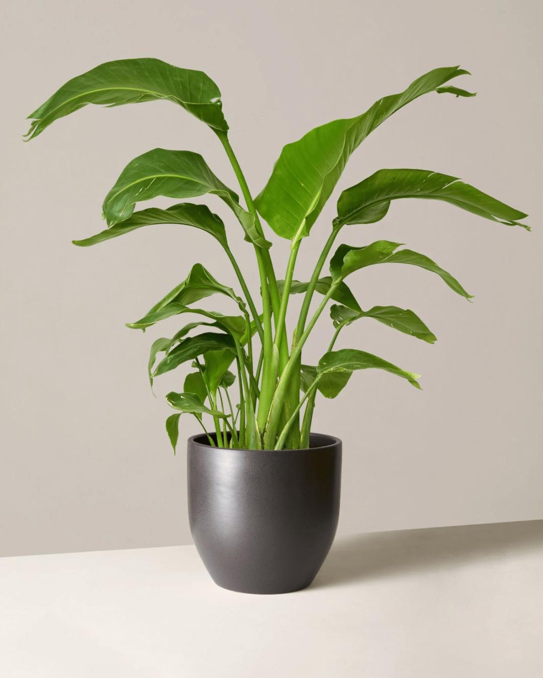 bird of paradise, buying indoor plants online