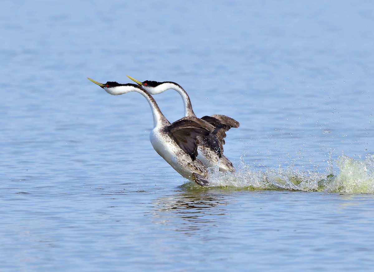 A pair of western grebes perform a courtship dance called rushing.