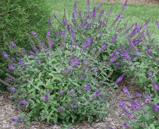 Blue Chip Butterfly Bush